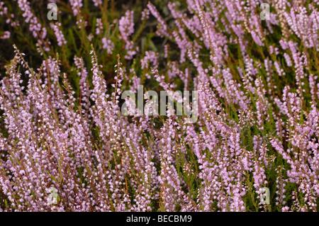 Purple heathland blooming in autumn - Stock Photo