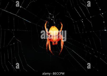 Red orbweaver spider. - Stock Photo