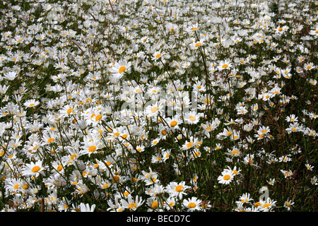 A field of Ox-eye daisies, Surrey, England, UK. - Stock Photo