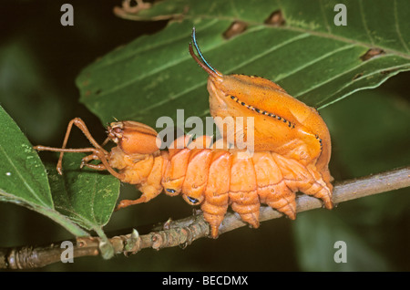 Lobster Moth (Stauropus fagi), caterpillar on twig of a beech tree - Stock Photo