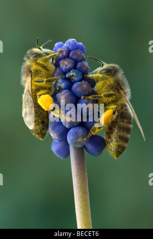 Honey Bee (Apis mellifera), Grape Hyacinth (Muscari botryoides), Schwaz, Tyrol, Austria, Europe - Stock Photo
