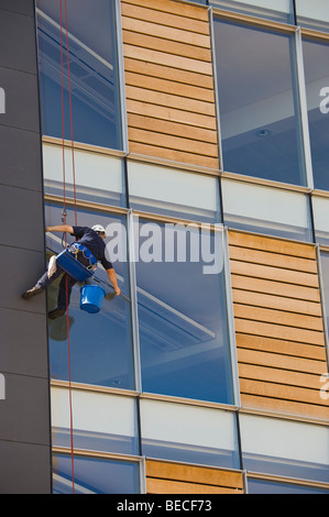 Window cleaner using industrial rope access techniques abseiling down facade to clean windows of modern office block - Stock Photo