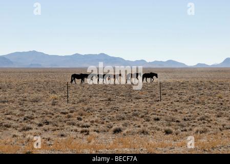 Half wild horses next to Highway 6 near Tonopah, Great Basin, Nevada, USA - Stock Photo