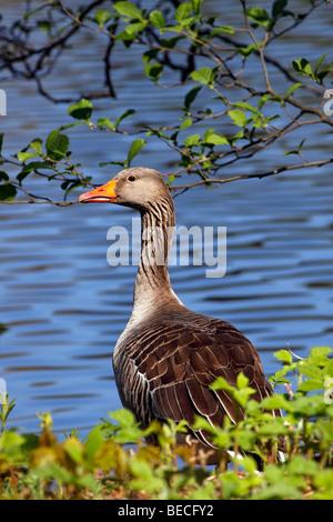 Gray goose, grey goose, greylag goose (Anser anser) at a lake in spring - Stock Photo