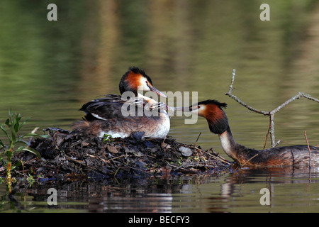 Nesting Great Crested Grebe with chicks on the back (Podiceps cristatus) - Stock Photo