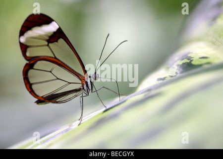 Glass Wing Butterfly (Greta oto), south american butterfly - Stock Photo
