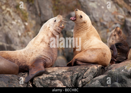 Stellar sea lions fighting on a rock in Canada - Stock Photo