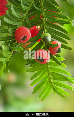 Yew taxus baccata foliage and berries - Stock Photo