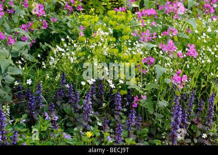 Stitchwort (Stellaria holostea), Bugle (Ajuga reptans), Spurge (Euphorbia amygdaloides) and Honesty (Lunaria annua) - Stock Photo