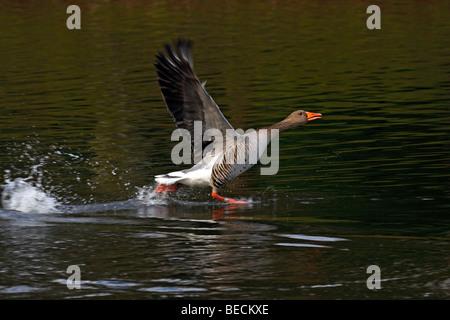Grey goose, greylag goose (Anser anser) running over water - Stock Photo