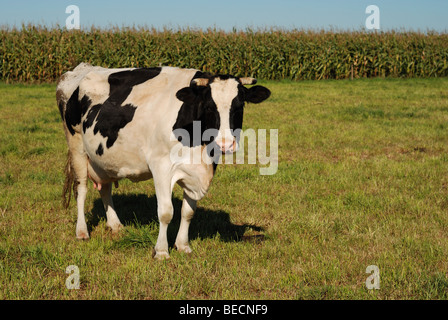 Black and white cow standing in a field - Stock Photo