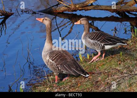 Pair of gray geese, grey goose, greylag goose, (Anser anser) - Stock Photo