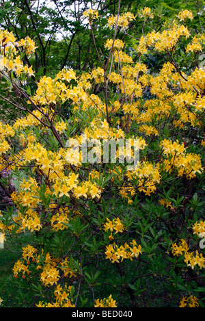 Rhododendron luteum AGM - Stock Photo