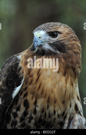 Red-tailed hawk, Buteo jamaicensis, Florida, captive - Stock Photo