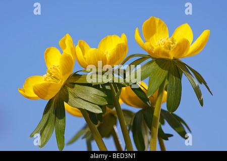 Small Winter aconite (Eranthis hyemalis), Winter aconites, blossoms - Stock Photo