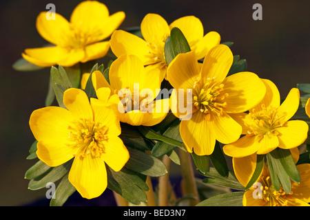 Small Winter aconite (Eranthis hyemalis), Winter aconites, blossoms, close-up - Stock Photo