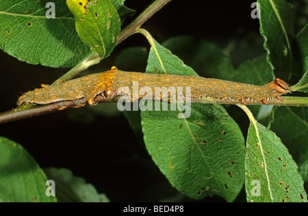 Rosy Underwing Moth (Catocala electa) caterpillar feeding on a branch of a Goat Willow - Stock Photo