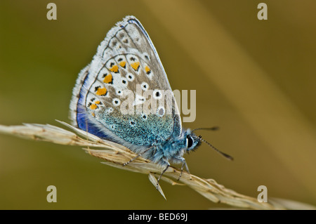Close-up of a male Common Blue butterfly feeding the nectar from a flower - Stock Photo