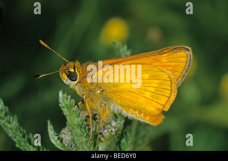 Rust coloured Large Skipper Butterfly (Ochlodes venatus) - Stock Photo