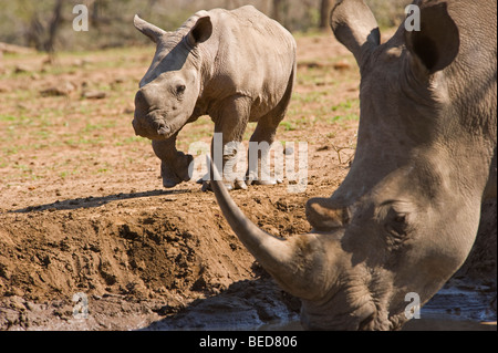 White Rhino mother and young calf - Stock Photo