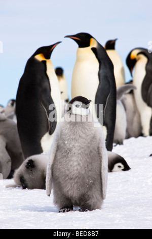1 cute cuddly baby Emperor penguin chick stands in snow in front of adult pair and breeding colony, Snow Hill,  - Stock Photo