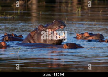 A pod of Hippopotamus (Hippopotamus amphibius) in the Chobe River in Botswana - Stock Photo