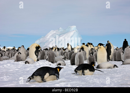 2 adult Emperor penguins return to rookery, breeding colony with many baby chicks, sliding quickly on ice with full - Stock Photo