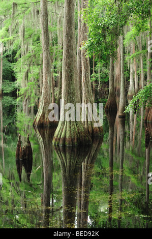 Bald cypress, Taxodium distichum, Lake Bradford, Florida - Stock Photo