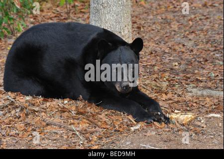 Black bear, Ursus americanus, Florida, captive - Stock Photo
