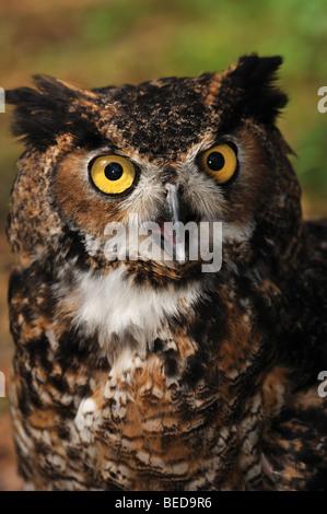 Great horned owl, Bubo virginianus, Florida, captive