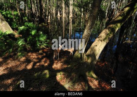 White-tailed Deer, Odocoileus virginianus, Lake Bradford, Florida (captive)
