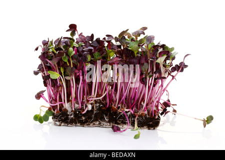Radish sprouts - Stock Photo