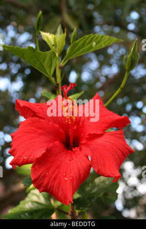 A Red Hibiscus Flower Showing Pistil And Stamens Taken In Knysna, Western Cape, South Africa - Stock Photo