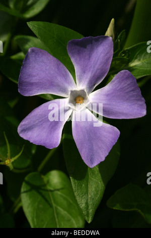 Large Periwinkle Vinca major Taken In Western Cape Province, South Africa - Stock Photo