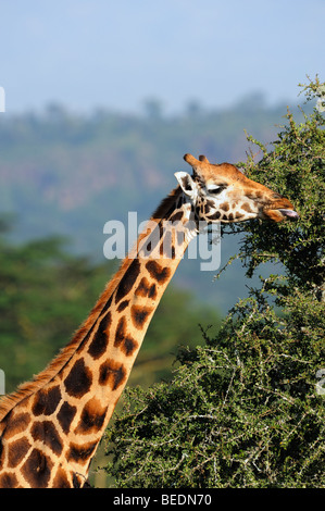 Portrait of a Rothschild Giraffe (Giraffa camelopardalis rothschildi), Lake Nakuru, national park, Kenya, East Africa - Stock Photo