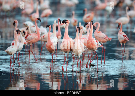 Lesser Flamingos (Phoeniconaias minor), group performing courtship display in last daylight, Lake Nakuru, national - Stock Photo