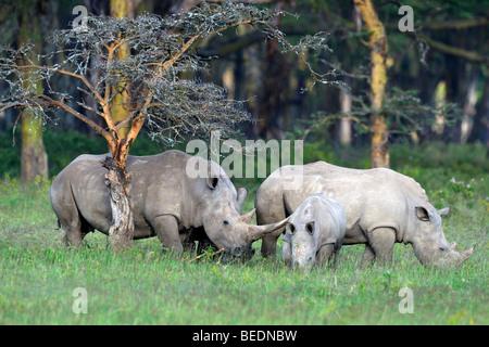 White Rhinocerus (Ceratotherium simum), group with calf, Lake Nakuru, national park, Kenya, East Africa - Stock Photo