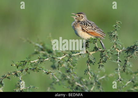 Rufous-naped Lark (Mirafra africana), chirping, Lake Nakuru, national park, Kenya, East Africa - Stock Photo