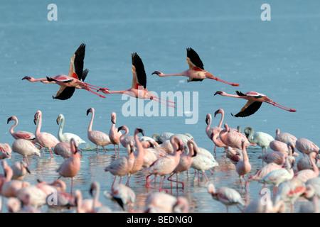 Group of Lesser Flamingos (Phoeniconaias minor) flying, Lake Nakuru, national park, Kenya, East Africa - Stock Photo