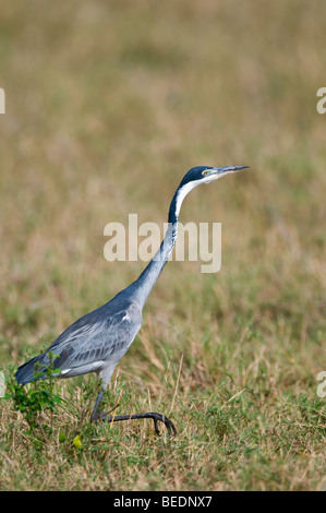 Black-headed Heron (Ardea melanocephala), Masia Mara, national park, Kenya, East Africa - Stock Photo