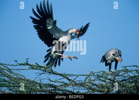 Secretarybird or Secretary Bird (Sagittarius serpentarius) Pair Building Nest, Masai Mara Reserve, Kenya - Stock Photo