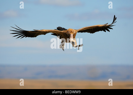 White-backed Vulture (Gyps africanus) about to land, Masai Mara Nature Reserve, Kenya, East Africa - Stock Photo