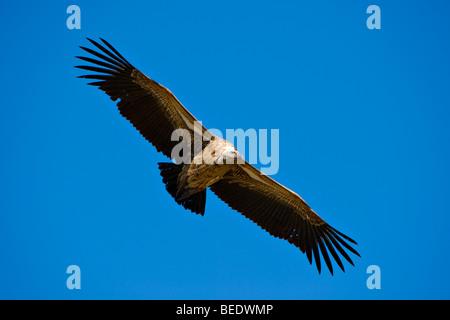 White-backed Vulture (Gyps africanus) in flight, Masai Mara Nature Reserve, Kenya, East Africa - Stock Photo