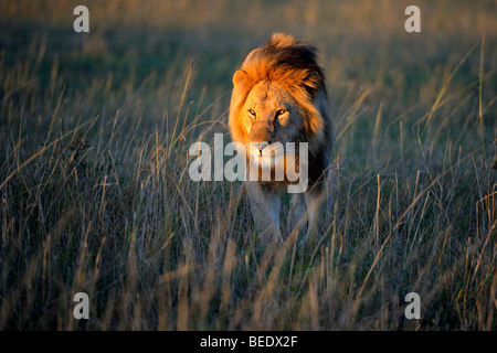 Lion (Panthera leo) with a mane in the first morning light, Masai Mara Nature Reserve, Kenya, East Africa - Stock Photo