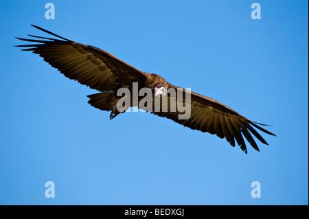 Hooded Vulture (Necrosyrtes monachus) in flight, Masai Mara Nature Reserve, Kenya, East Africa - Stock Photo