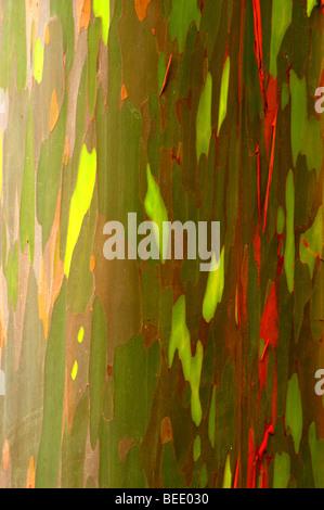 Colorful bark of the rainbow eucalyptus tree - Stock Photo