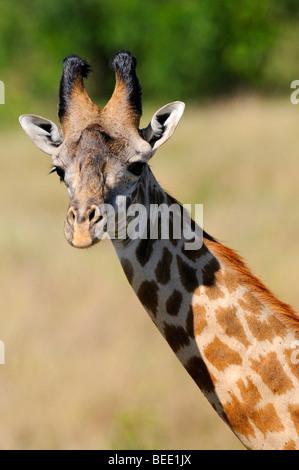 Masai Giraffe (Giraffa camelopardalis tippelskirchi), portrait, Masai Mara Nature Reserve, Kenya, East Africa - Stock Photo
