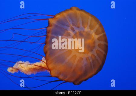 Black sea nettle (Chrysaora achlyos), from the jellies exhibit at the Monterey Bay Aquarium