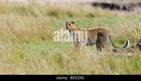 Leopard (Panthera pardus), Masai Mara Nature Reserve, Kenya, East Africa - Stock Photo