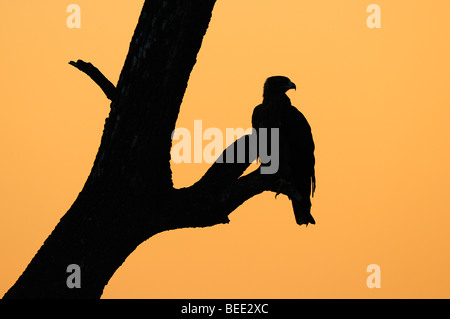 Tawny Eagle (Aquila rapax), silhouette against the red evening sky, Masai Mara Nature Reserve, Kenya, East Africa - Stock Photo